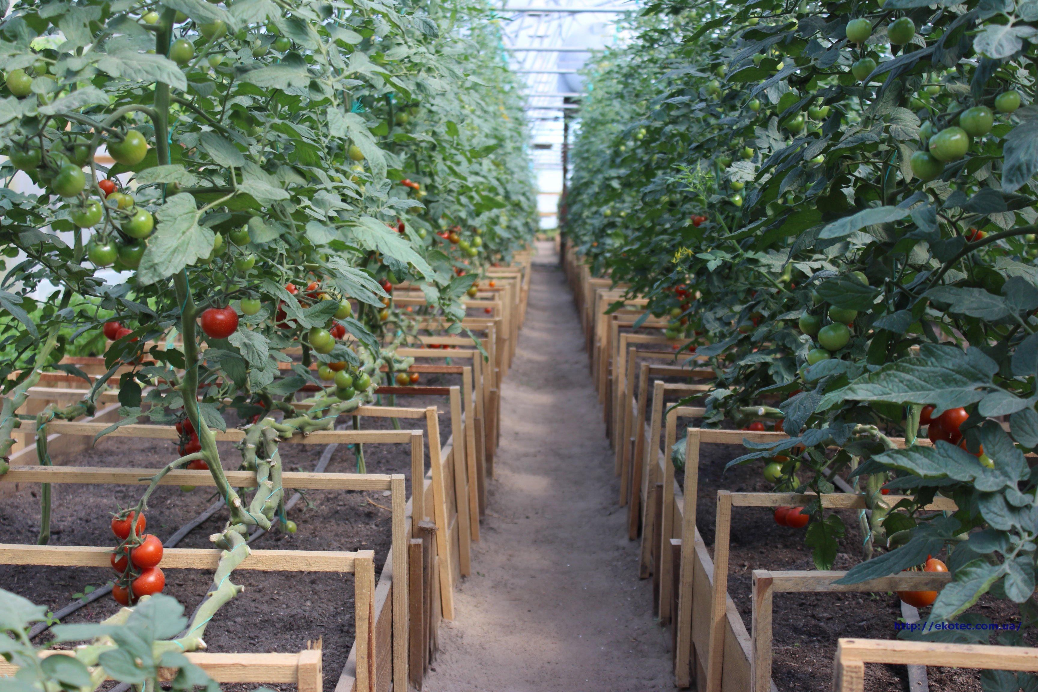 Выращивание помидоров под пленкой 80