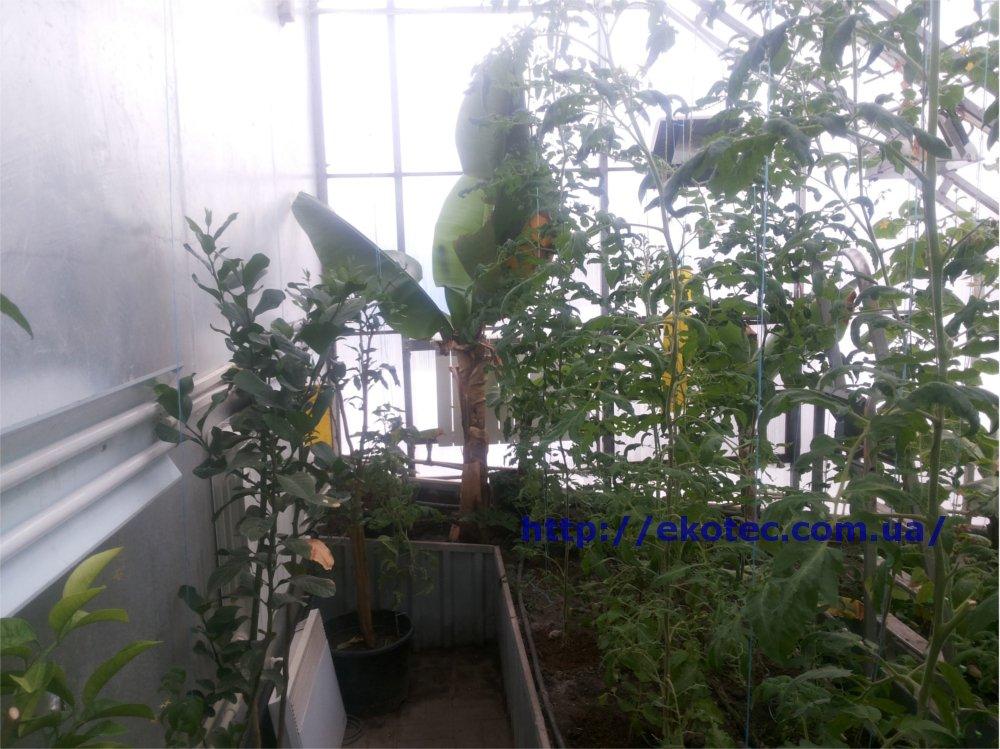 Технология выращивания лимонов в теплице 80